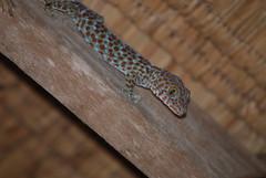 Gecko Tockay (sigurshoot) Tags: gecko gekko tokay asia cambogia cambodia animals animali rettili reptile natura wildnature nature inthenature