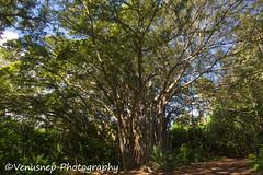 Turtle Bay 24 (venusnep) Tags: turtlebay turtle bay hawaii travel travelphotography north shore northshore may 2017 nikond610 nikon d610 banyantree banyan tree