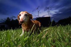 evening walk (Marm O. Set) Tags: dog dogportrait pet petportrait doxie dachshund weinerdog night nightphotography strobist strobe strobes studio flash flashes offcameraflash offcamera ocf softbox transceivers transmitter yongnuo yongnuoyn560iii yongnuoyn560tx outside