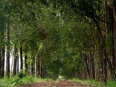 (IgorCamacho) Tags: caminho way trees árvores natureza nature estrada rural paisagem landscape
