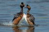 I Think She Likes Me (Amy Hudechek Photography) Tags: nikond500 eared grebe courtship dance bird amyhudechek
