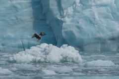 Ice and Eagle (Tim Melling) Tags: bald eagle haliaeetus leucocephalus meares glacier alaska timmelling