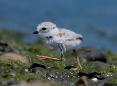 "Piping Plover Chick (""DEB"") Tags: bird ctbird endangered milford point pipingploverchick baby d500 nikon200500mm ocean protectedbird"
