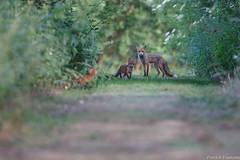 201706 Grand Rieu 13486-Modifier.jpg (fontainepatrick70) Tags: mammifères faune renardroux présdegrandrieu belgium belgique hautrage mammalia mammals vulpesvulpes redfox