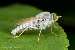 Stiletto Fly (jgruber111) Tags: stilettofly pandivirilia therevinae therevidae diptera insect macro entomology