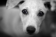 born yesterday (helen sotiriadis) Tags: portrait bw dog white black public monochrome face animal closeup canon puppy nose eyes published dof bokeh depthoffield greece crete chania canonef50mmf14usm falasarna canoneos40d updatecollection
