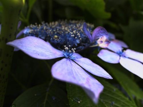 これも紫陽花1