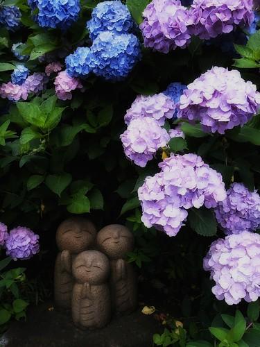 紫陽花の影に