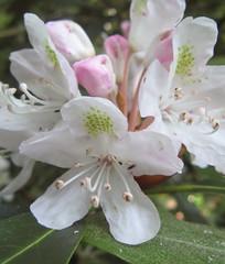 White rhododenron on Profie Trail