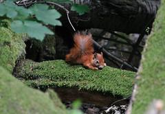 Waldbewohner - Forester (Imagonos) Tags: slr germany deutschland nikon squirrel europa europe wiesbaden hessen outdoor ausflug dslr wald eichhörnchen ves redsquirrel neroberg tierbild mitteleuropa rheinmain d90 animalpicture südhessen wiesbadenneroberg waldbewohner nikond90 d3000 dslrphotography afsnikkor70300mm14556gvr mideurope imagonos