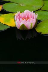 329. Reflect / 倒映 (Eyes of sky) Tags: california losangeles waterlily 蓮花 洛杉磯 加州 小黑四 80200mmf28afs