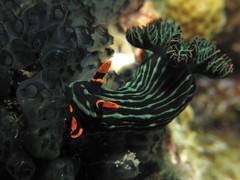 Dusky (MerMate) Tags: green canon underwater philippines diving powershot nudibranch anilao batangas behaviour nocropping seaslugs nembrotha g10 cois nudipixel wpdc28 nudilovers