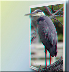 Great Blue Heron (Anaglyph 2D-3D) (starg82343) Tags: park bird nature photoshop manipulated effects stereoscopic 3d branch wildlife brian anaglyph ps stereo wallace stereoview perched fx waterfowl winged majestic cgi feathered outofbounds stereoscopy oof oob stereographic spm outofframe brianwallace stereoimage lakewaterford outofborder stereophotomaker