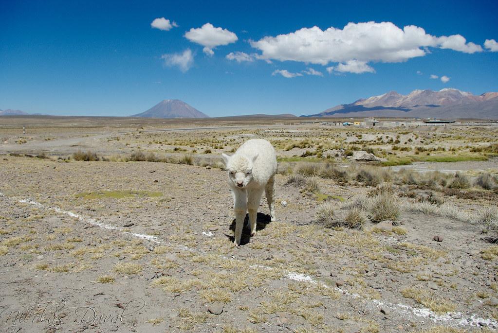 Baby Alpaca - Vizcachani, Peru