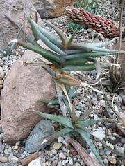 Aloe inexpectata (Jordan Mantz) Tags: aloe inexpectata