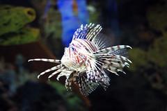 Lionfish (shelley ray) Tags: fish water beautiful canon rebel 50mm aquarium fixed aquatic 18 lionfish t1i