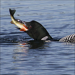 Catch of the day… (NaPix -- (Time out)) Tags: food lake fish reflection nature yummy action eat meal catch loon napix