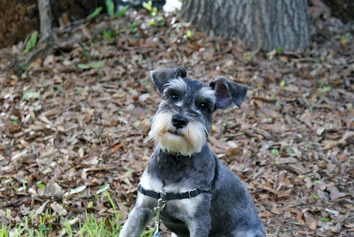 Kevin the Miniature Schnauzer