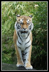 Majestic (Grievous247) Tags: nature wildlife sony tiger bigcats a700 sal70400g flickrbigcats