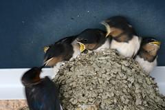 IMG_4177.JPG (Cristian Marchi) Tags: trip birds japan nest eating small swallow nara 2008 viaggio giappone nihon  rondine etichetteimportate