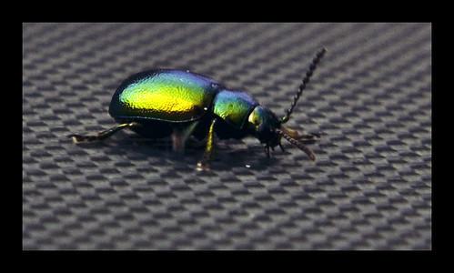 blue wild colour macro nature animal electric movement mark wildlife beetle plymouth olympus 500 dartmoor daysout 2010 wildllife e500 olympuse500 naturepics olypuse500 milemead markplymouth