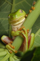 KISS Me (Filan) Tags: green closeup nikon kiss frog micro r1 nikkor speedlight treefrog froggy greenfrog ket extensiontube frogprince ext kenko straightoutofthecamera filan macrolicious sooc nikkor200mmf4 nopp straightoutofcamera kissafrog macrolife filanthaddeusventic treefroggy filand3 nikonfilan filanthography nikonianfilan iamfilan
