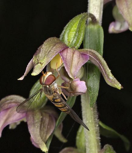 Mangeurs de pollen à orchidées 4762611464_e76afe8521
