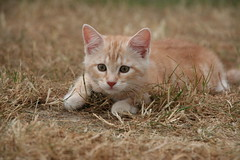 Gammon (CORMA) Tags: chaton cat gatto gattino chat kitten
