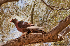 Zone 19 - Foreign Pigeon in Chandler (Laveen Photography (aka cyclist451)) Tags: arizona white tree pigeon az crest chandler