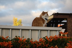 his kingdom (ScootaCoota Photography) Tags: flowers blue trees winter sky orange white house male up animal clouds yard cat canon hair lens outside photography eos photo back high cool kitten long pretty sitting looking bright watching shed young july kitty fluffy kingdom sunny australia pic perth his aussie bandana neighbours 2010 ontop 200mm scoota coota 1000d