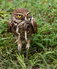 Burrowing owl eats a frog legs for breakfast (Jamie Felton Photo) Tags: nature florida frog eat swamp owl burrowingowl bullrush wilflife specanimal pondhawkdragonfly jamiefelton dragonflypondhawk feltonphoto jamiefeltonphoto