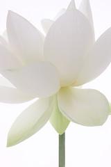 Lotus Flower - IMG_7549 (Bahman Farzad) Tags: sun flower macro yoga peace waterlily lotus relaxing peaceful illusion meditation therapy illusions lotusflower lotuspetal lotuspetals lotusflowerpetals lotusflowerpetal