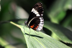 Postman Butterfly 3 (moJoe_sg1) Tags: nature animal butterfly insect outdoors nikon butterlfies animalkingdomelite