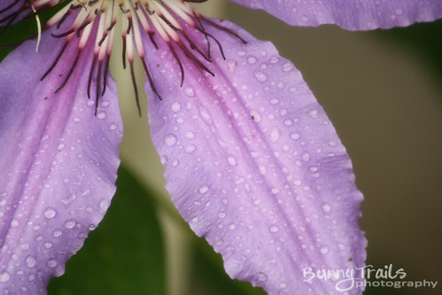 173-rain_drops_clematis