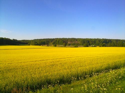 Yellow fields of Espoo