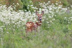 Roe Deer (Andy_Hartley) Tags: uk england nature animals mammal photo europe wildlife sigma 1001nights mammals canon450d flickraward sigma150500