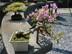 Bougainvillea sp. bonsai (Jellyfish57) Tags: garden singapore asia bougainvillea sp bonsai botanic nyctaginaceae