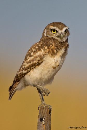 Burrowing Owl Juv. (Athene cunicularia)