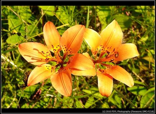 Wood Lilies (Lilium philadelphicum)