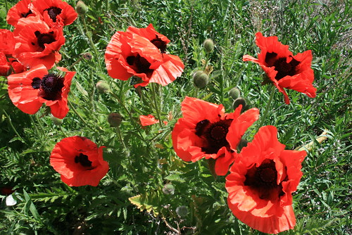 Victor, ID Poppies