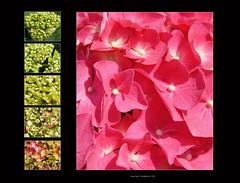 Hydrangea macrophylla Hortensia (CharmFocus) Tags: hydrangea hortensia macrophylla