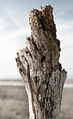 Drift Wood Branch