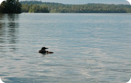 Loon and baby loon