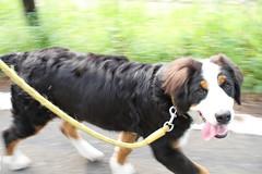 I love walking (Takashi(aes256)) Tags: dog animal walking bernesemountaindog panning    sigma30mmf14exdchsm miruku  canoneos7d