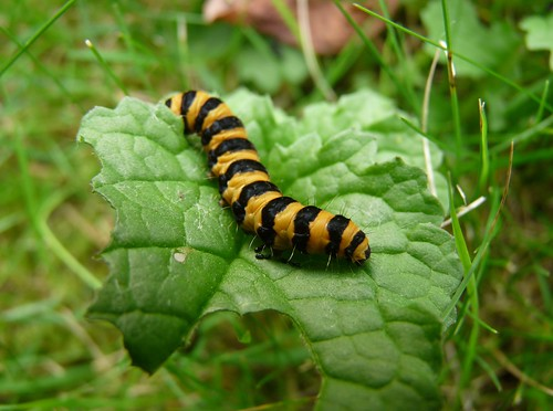 22085 - Cinnabar Moth Caterpillar