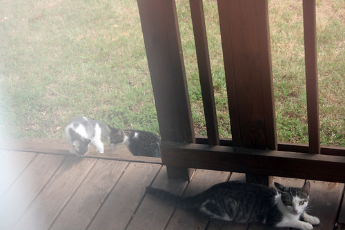 Emmaline lays near the front porch steps.  Behind her on the top step, Kitten2 and Kitten3 explore curiously.