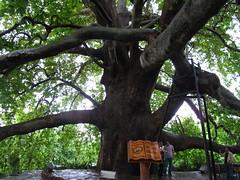 600 Year Old Tree (Mike Barish) Tags: tree turkey oldtree bursa hugetree