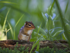 I Know Im Adorable (Reiffhaus (Steppin It Up!!)) Tags: home rodent critter wildlife chipmunk chip