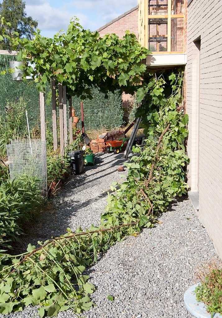druivelaar wandelt naar Scherpenheuvel