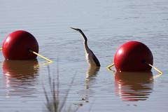 Australian Darter balancing... (kasia-aus) Tags: red two bird nature water balls australia canberra act darter 2010 anhinga belconnen lakeginninderra australiandarter anhingamelanogasternovaehollandiae
